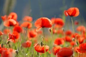 poppy-1423799_1280
