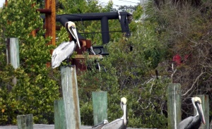pelicans, florida, helena fairfax